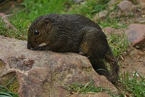 Bornean Mountain Ground Squirrel (Dremomys everetti) (6967249730).jpg