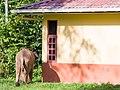 Borneo Elephant (14839512860).jpg