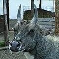Boselaphus tragocamelus - nilgau pestry - ZOO Chleby.jpg