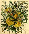 Botanical Magazine 4102 Dryandra formosa(pl).jpeg