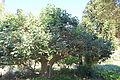 Brachychiton discolor - Leaning Pine Arboretum - DSC05420.JPG