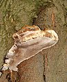 Bracket fungus on beech tree - geograph.org.uk - 1532723.jpg