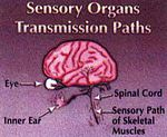 Brain, eye, inner ear, spinal cord, and sensory path of skeletal muscles.jpg