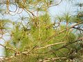 Branches of pine tree.jpg