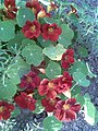 Brassicales - Tropaeolum majus 5 - 2011.07.17.jpg