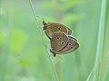 Brauner Waldvogel Aphantopus hyperantus Mating.JPG