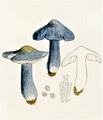 Bresadola - Entoloma bloxamii.png