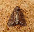 Bright-line Brown-eye. Lacanobia oleracea - Flickr - gailhampshire (2).jpg