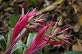 Bromeliaceae, Mt Coot-tha Botanic Gardens, Toowong IMGP0048.jpg