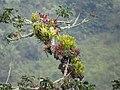 Bromelias en tronco - Flickr - Alejandro Bayer.jpg
