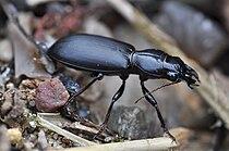 Dikkopzandgraver (Broscus cephalotes)