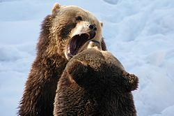 Brown Bears Nationalpark Bayerischer Wald 14.jpg
