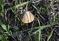 Brown Mushroom.jpg