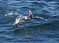 Brown Pelican (40078290764).jpg