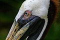 Brown Pelican - Pelecanus occidentalis (32826820984).jpg