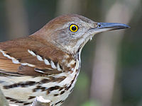 Brown Thrasher by Dan Pancamo 1