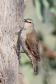 Brown treecreeper species of bird