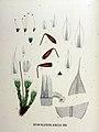Bryum pallescens — Flora Batava — Volume v18.jpg