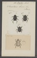Bubas - Print - Iconographia Zoologica - Special Collections University of Amsterdam - UBAINV0274 019 08 0002.tif