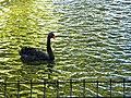 Bucuresti, Romania, Parcul Herastrau (Imagine de pe lacul Herastrau)(din episodul Lebada Neagra, 5); B-II-a-A-18802.JPG