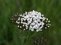 Yarrow (Achillea millefolium) found at Los Vaqueros Resivoir in California.