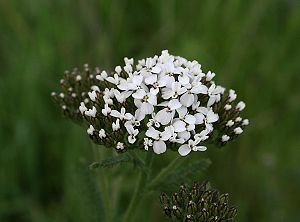 Budding yarrow.jpg