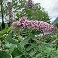 Buddleia-Arbre aux papillons-20190726.jpg
