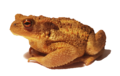 Bufo bufo spinosus 2.png