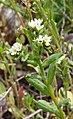 Buglossoides czernjaevii 124515566.jpg