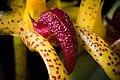 Bulbophyllum recurvilabre Garay, Harvard Pap. Bot. 4 304 (1999) (41981069782).jpg