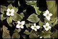 Bunchberry Cornus canadensis-554575.jpg