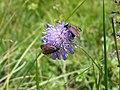 Burnet moth - panoramio (2).jpg