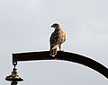 Buteo regalis Carrizo Plain 2.jpg