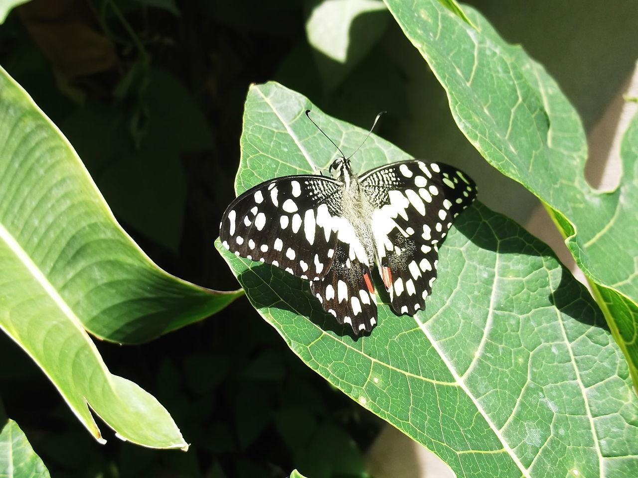 Yercaud India  city photos gallery : Butterfly 39 yercaud salem India Wikimedia Commons