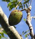https://upload.wikimedia.org/wikipedia/commons/thumb/5/58/Butternut_nut.jpg/120px-Butternut_nut.jpg