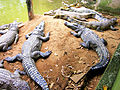 Cá sấu ở cồn Phụng.jpg