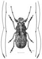 COLE Anthribidae Lawsonia variabilis m.png