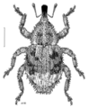 COLE Curculionidae Didymus intutus.png