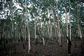 CSIRO ScienceImage 2404 A Stand of Waria Waria Trees.jpg