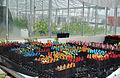 CSIRO ScienceImage 3768 Cotton seedlings in glasshouse.jpg