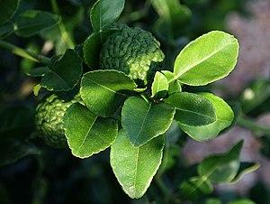 C hystrix kaffir lime leaves.jpg