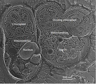 Cyanidioschyzon merolae - Freeze fracture deep etch electron microscopy image of C. merolae, showing two cells, one in which the plastid has begun to divide. Courtesy of Prof. Ursula Goodenough.
