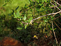 Cadaba fruiticosa112.JPG