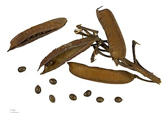 Biancaea decapetala - Seed pods and seeds