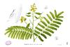 Caesalpinia sappan Blanco1.121