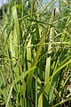 Calamagrostis brachytricha 1zz.jpg
