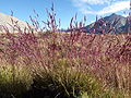 Calamagrostis breweri (7842459324).jpg