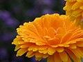 Calendula In The Flower Garden (2831241329).jpg