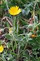 Calendula arvensis-Souci des champs-201903018.jpg
