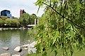 Calgary cut leaf birch green fix. (8916958497).jpg